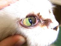 図3 猫の流涙(ウィルス性結膜炎)