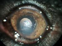 図4 剥離した角膜上皮