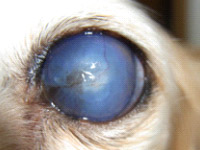 図8 ぶどう膜炎の続発性緑内障