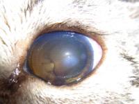 図9 眼内腫瘍の続発性緑内障