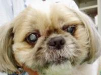 糖尿病性白内障の犬