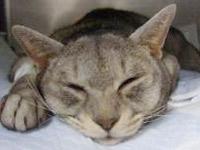 糖尿病性昏睡の猫